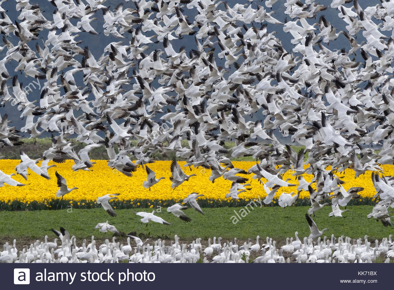 A large flock of snow geese (Chen caerulescens) erupts from a field of daffodils in La Conner, Washington. - Stock Image