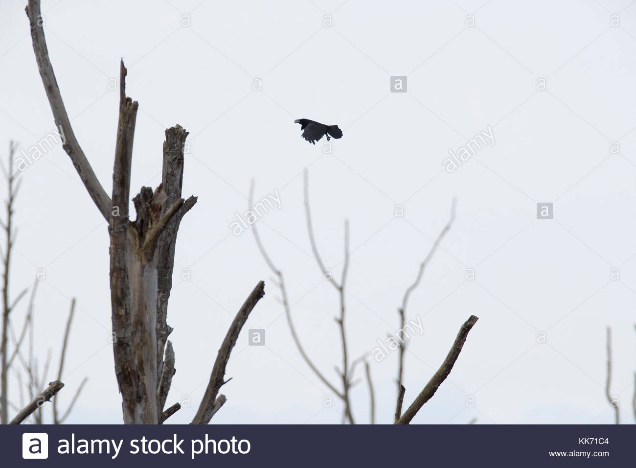 An American crow (Corvus brachyrhynchos) flies with a morsel of food over stark snags along Wiley Slough in the - Stock Image