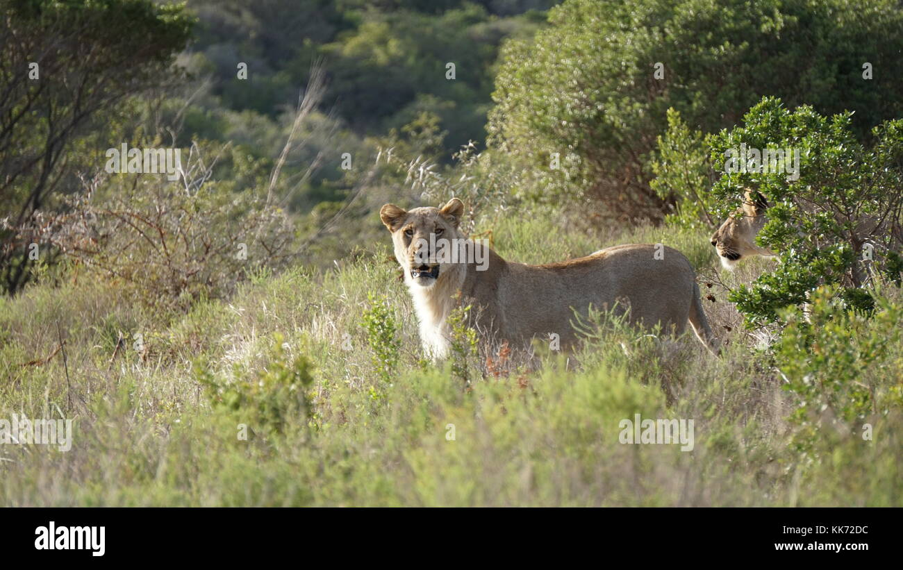 a lioness glares at the camera, with another hidden behind trees - Stock Photo