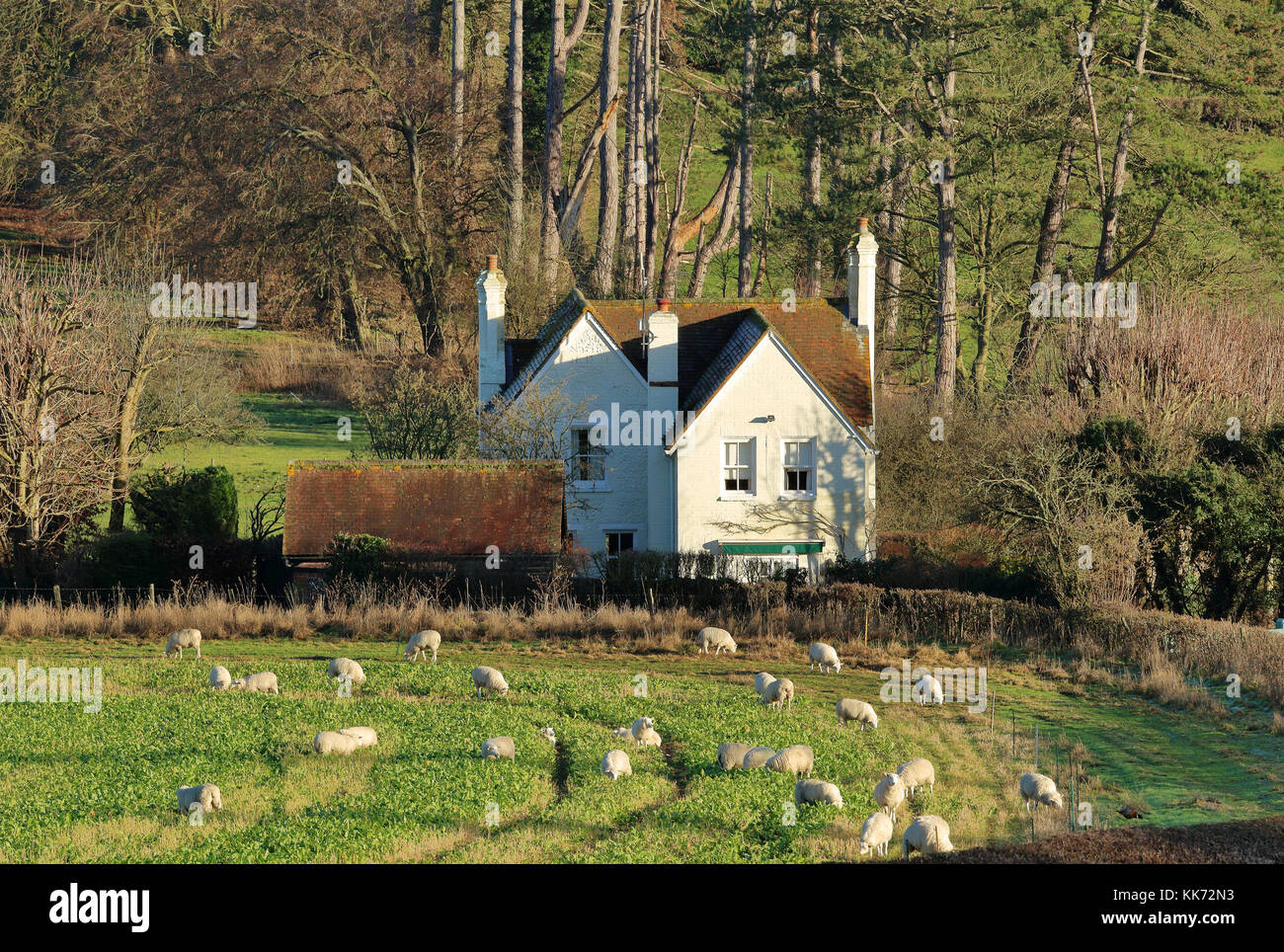 An English Rural Winter Landscape in the Chiltern Hills with grazing Sheep and white house - Stock Image