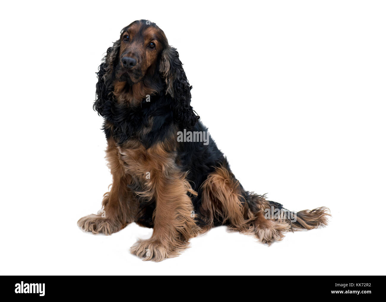 adorable obedient black and tan cocker spaniel with healthy teeth sat isolated on a white background - Stock Image