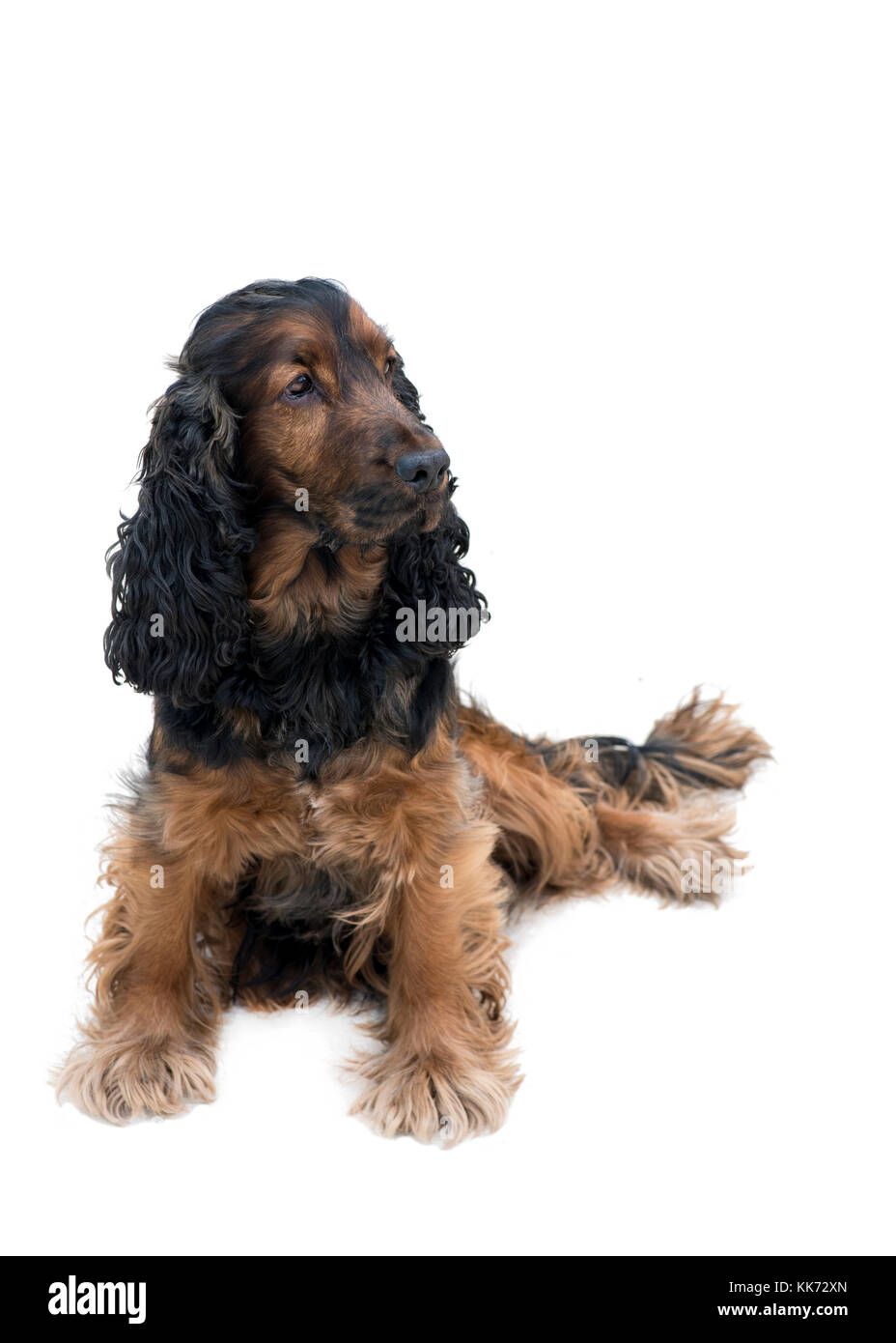 adorable obedient black and tan cocker spaniel sat looking to the side isolated on a white background - Stock Image
