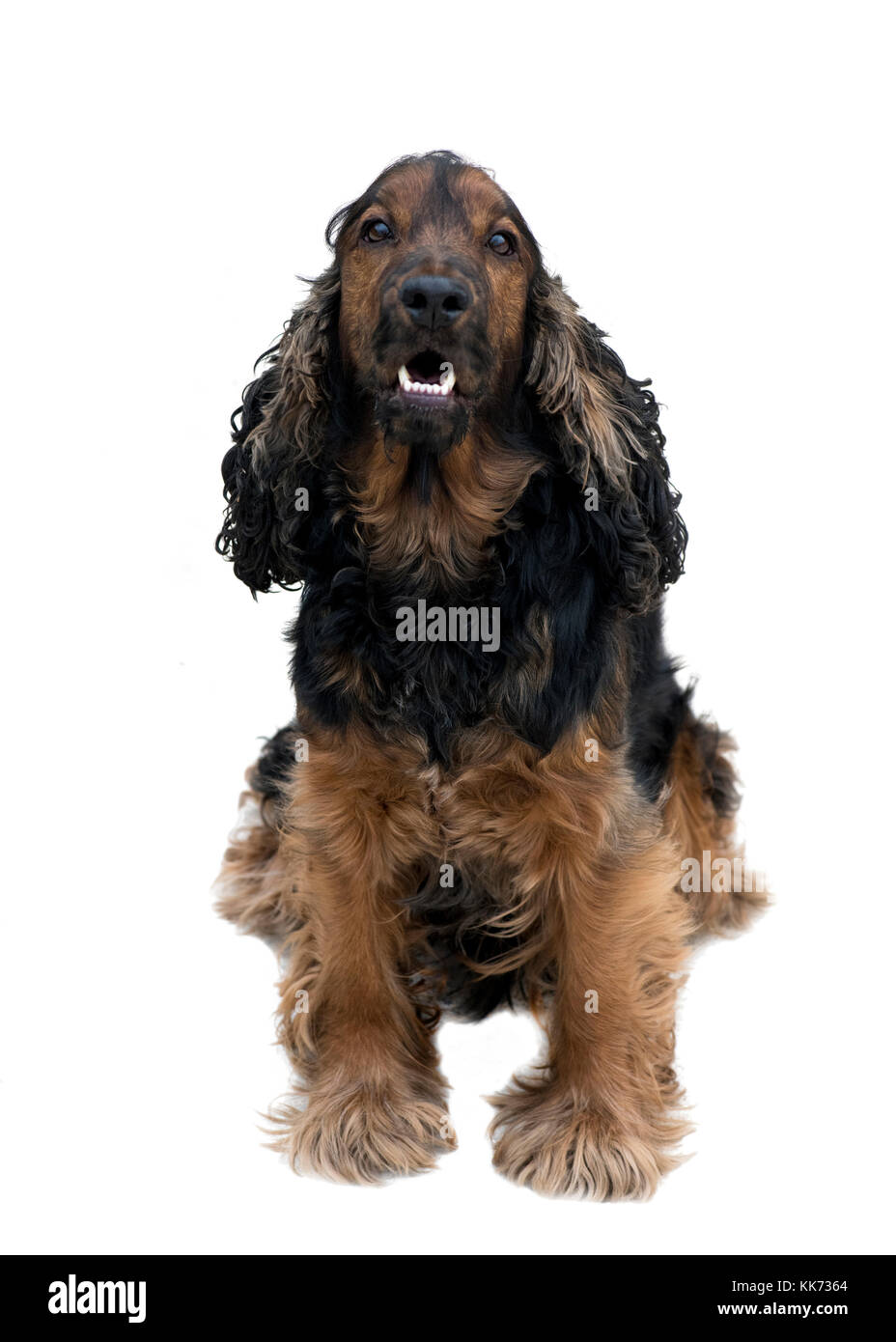 stunning pedigree black and tan cocker spaniel sat showing beautiful white teeth isolated on a white background - Stock Image