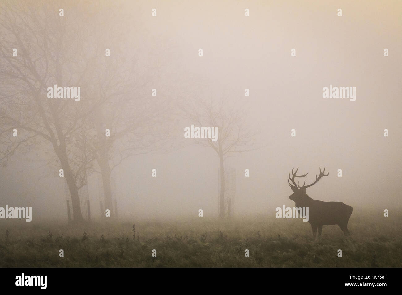 Stag, Male Red Deer, in the mist, cheshire, country park, wildlife - Stock Image