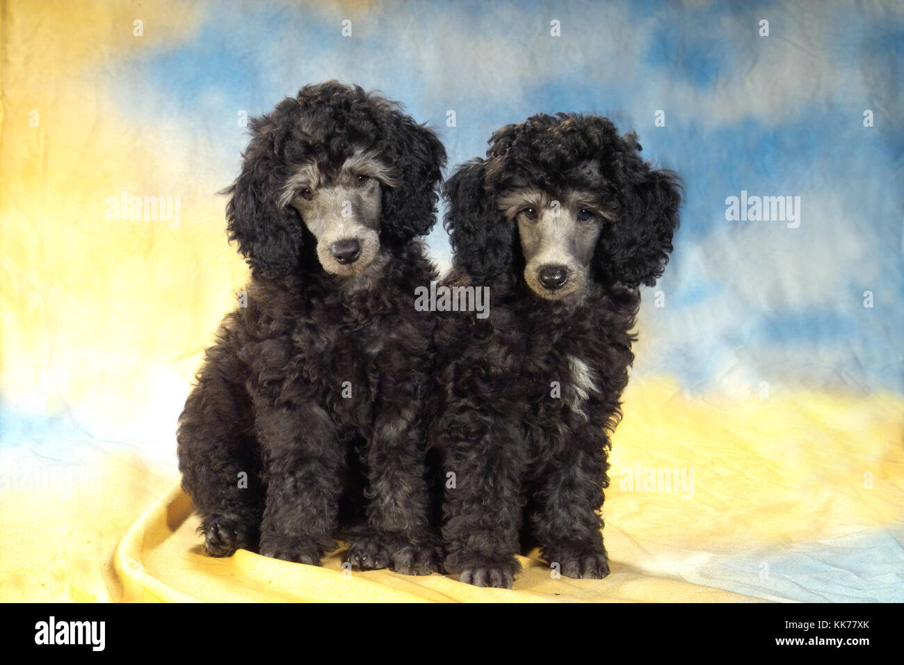 two young poodles - Stock Image
