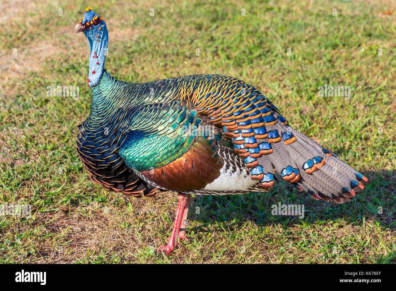 Ocellated Turkey | Tikal | Guatemala - Stock Image