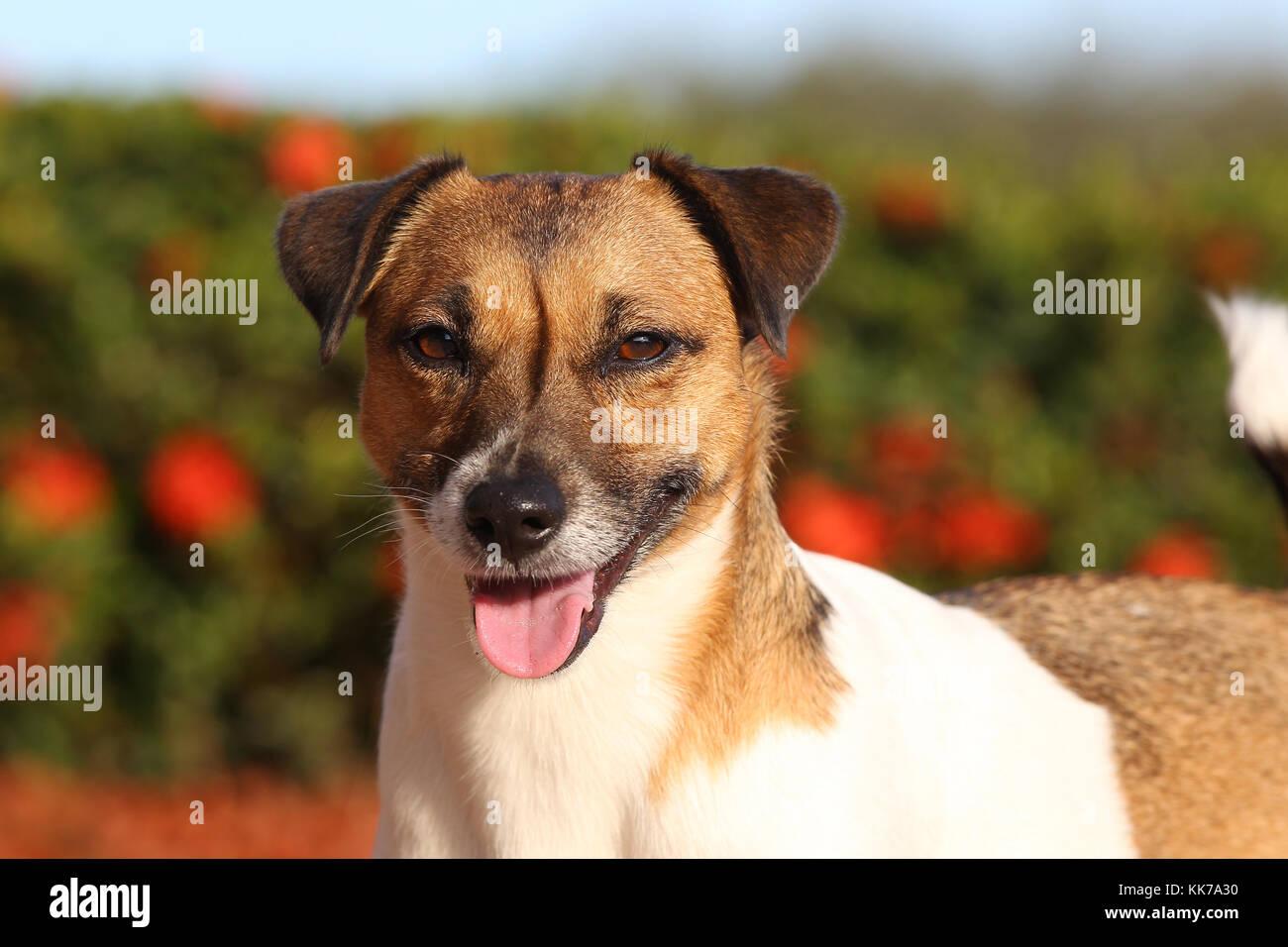 Terrier - Jack Russell Jack Russell Terrier Rebel Terrier - Stock Image