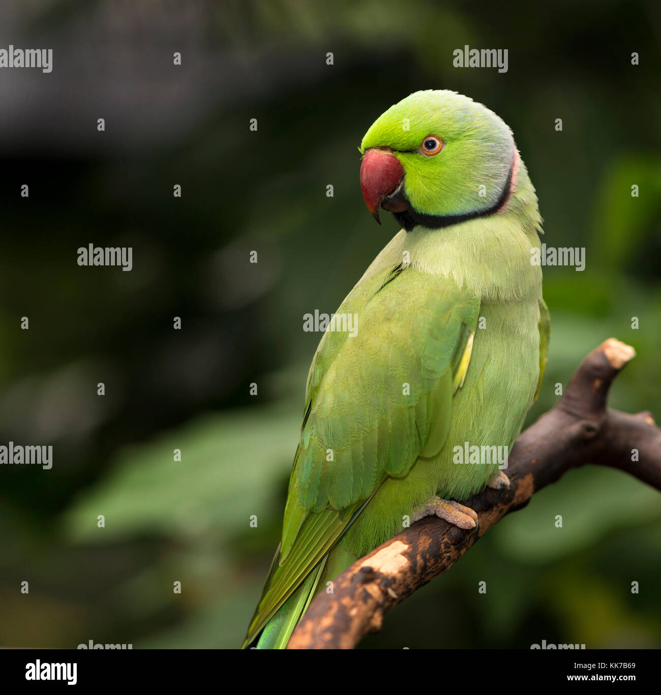 Indian Ringneck parrot perched on a branch - Stock Image