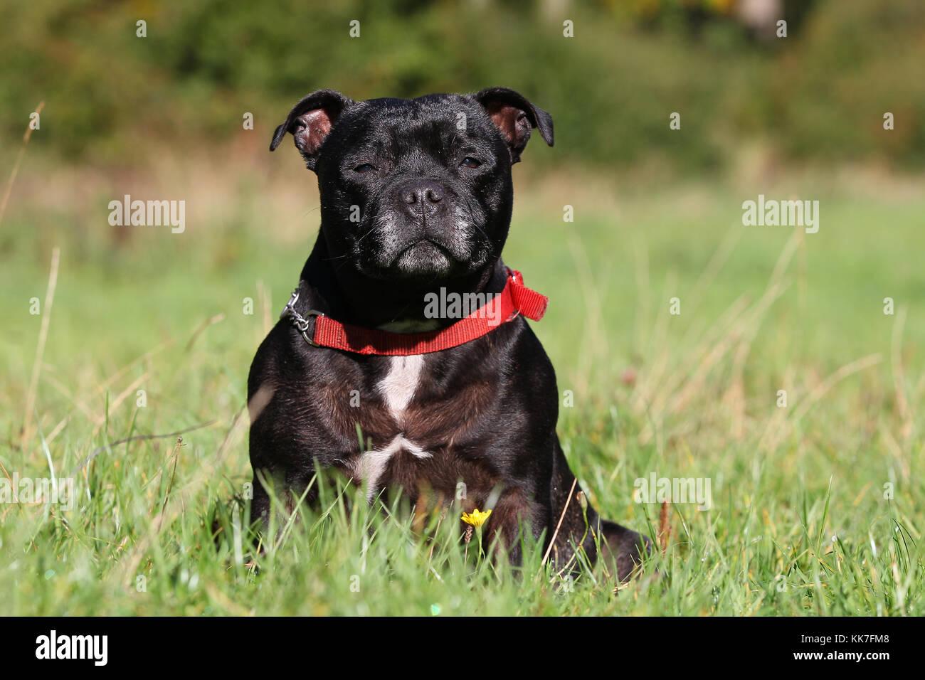 Terrier - Staffordshire Bull Staffordshire Bull Terrier Staffie - Stock Image