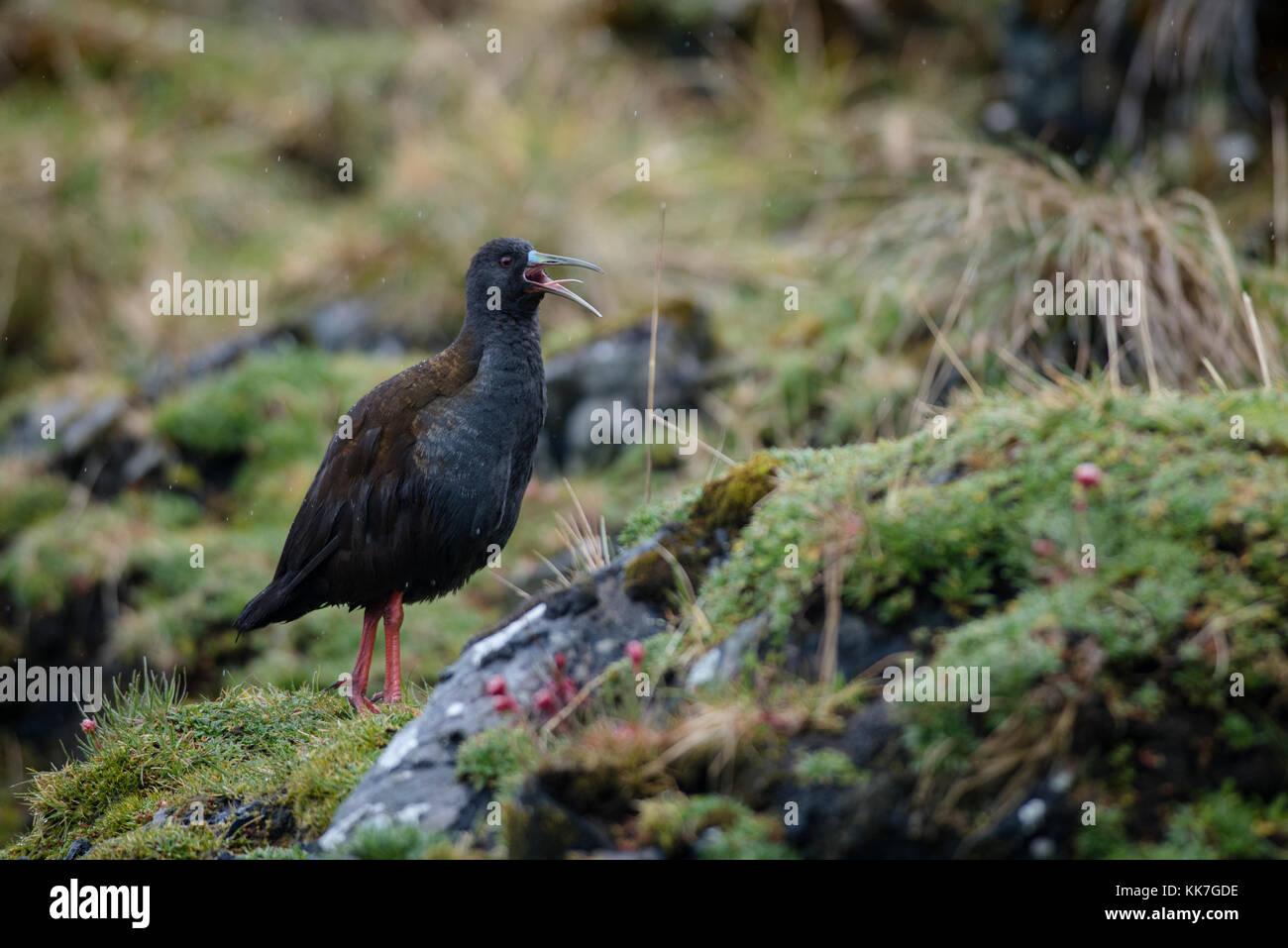 A Plumbeous Rail (Pardirallus sanguinolentus) sings in Carlos III Island, south Chile - Stock Image