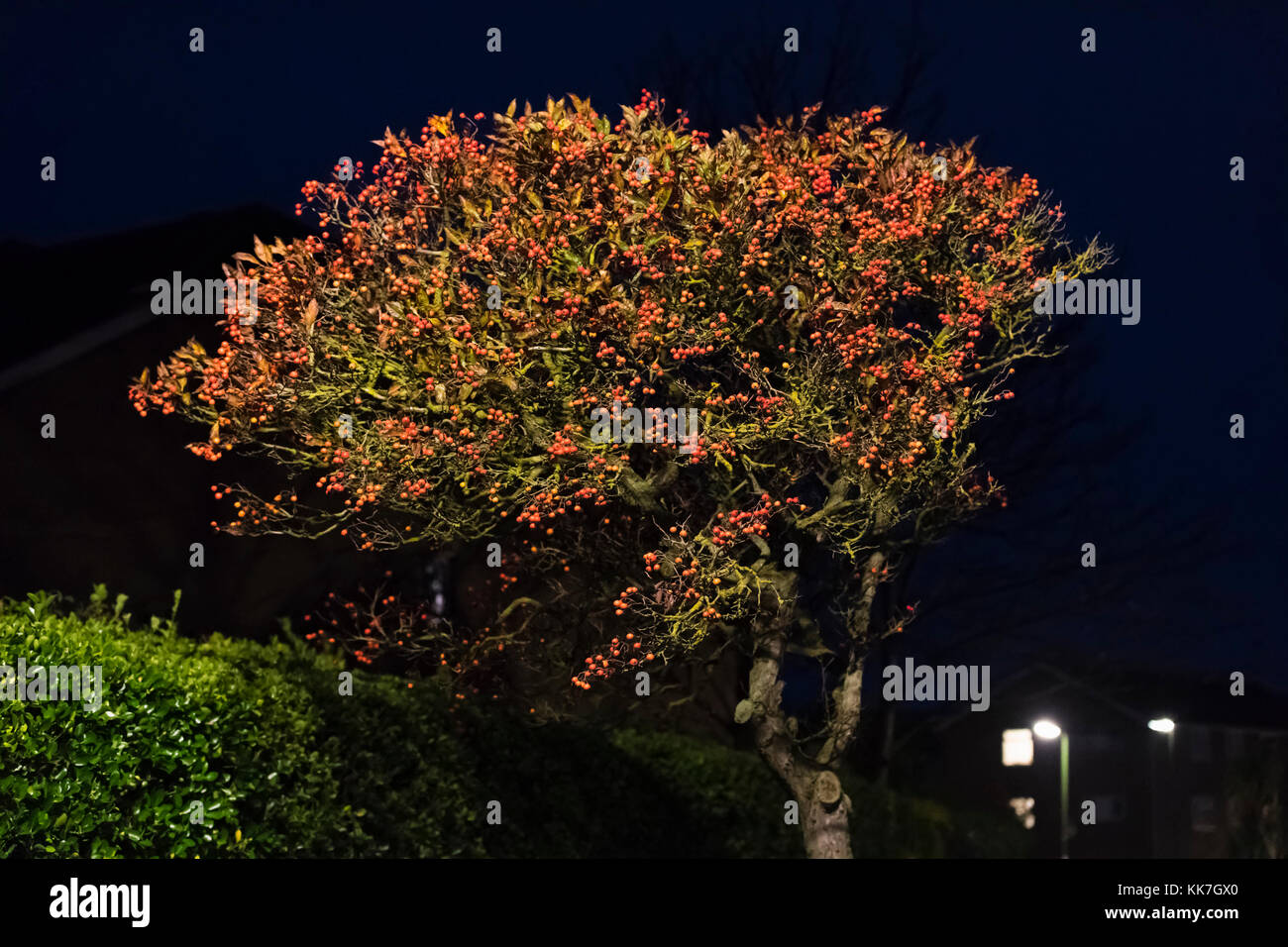 Tree at night with red berries lit by streetlamp in the UK. - Stock Image