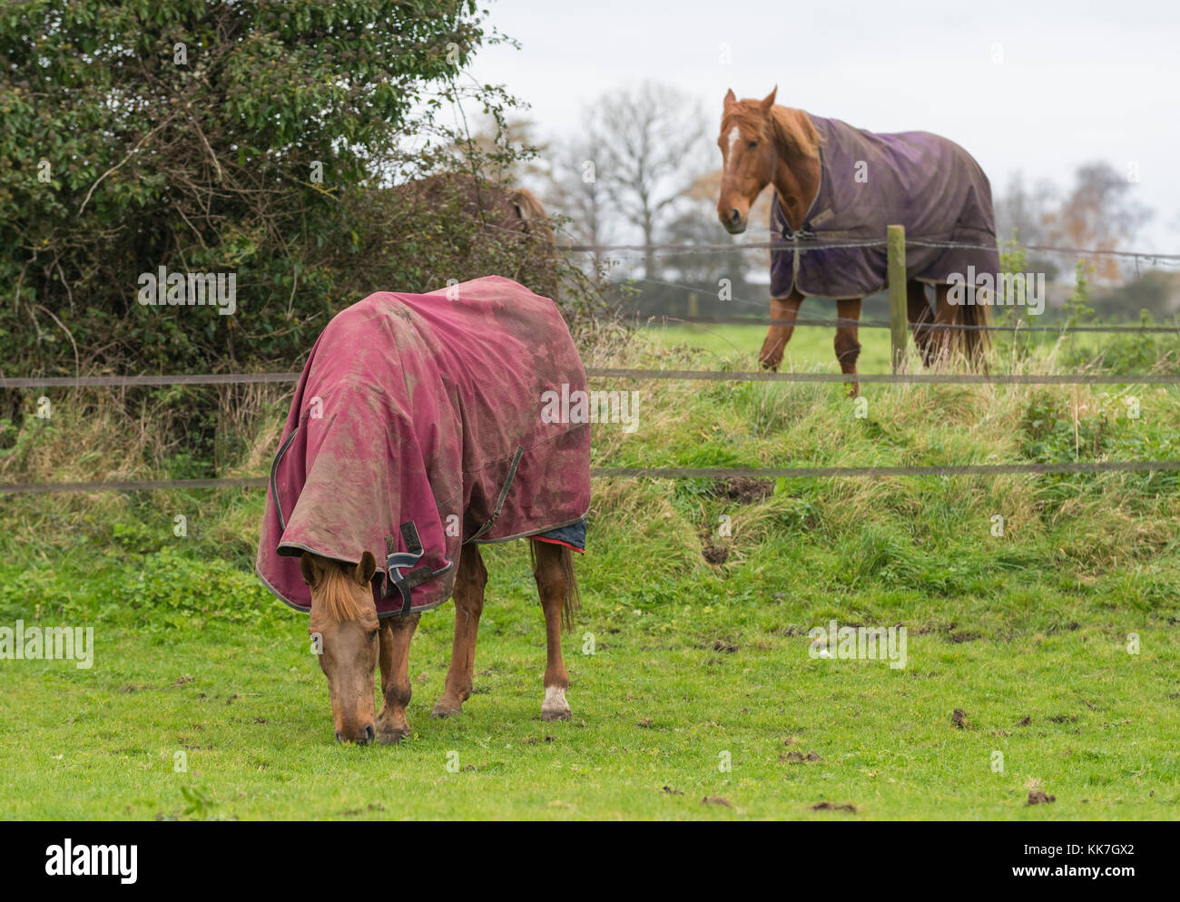 Horses in a field with horse blankets to keep warm in cold Winter weather in the UK. - Stock Image