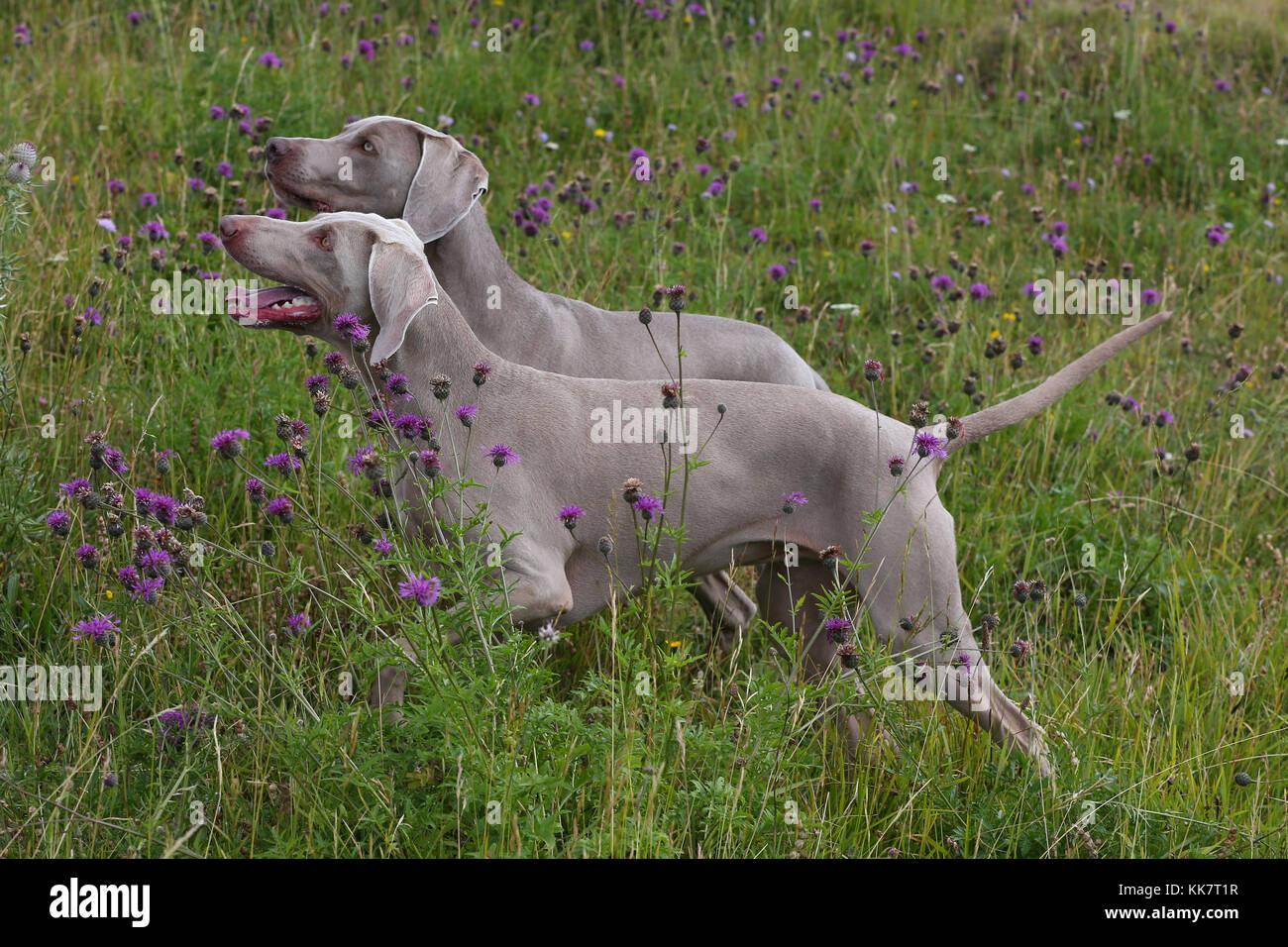 Weimaraner Weimaraner Vorstehhund Dogs - Stock Image