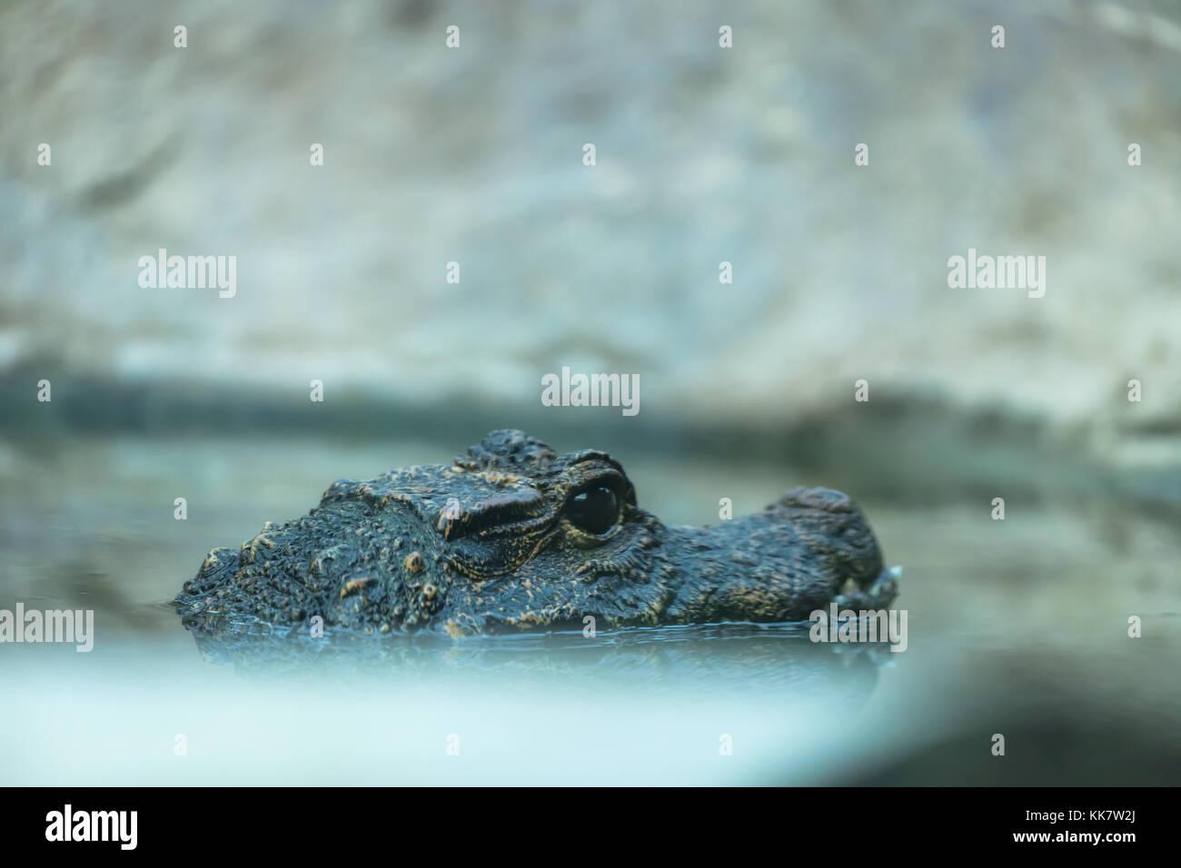 Head side view of an African dwarf crocodile, San Diego Zoo, California, USA. - Stock Image