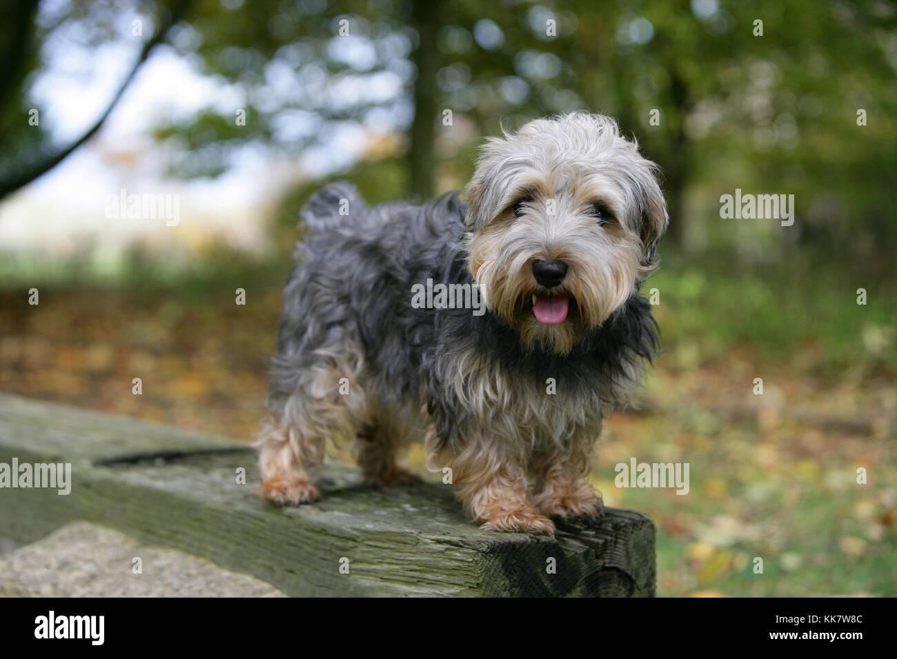 Terrier - Lucas Lucas Terrier Standing - Stock Image