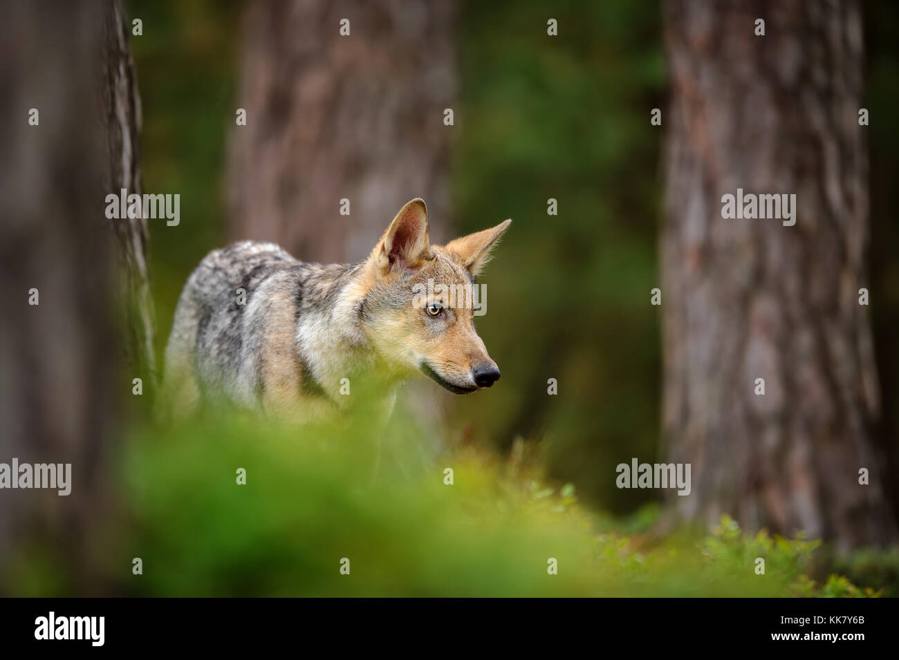 Wolf standing in forest - Stock Image