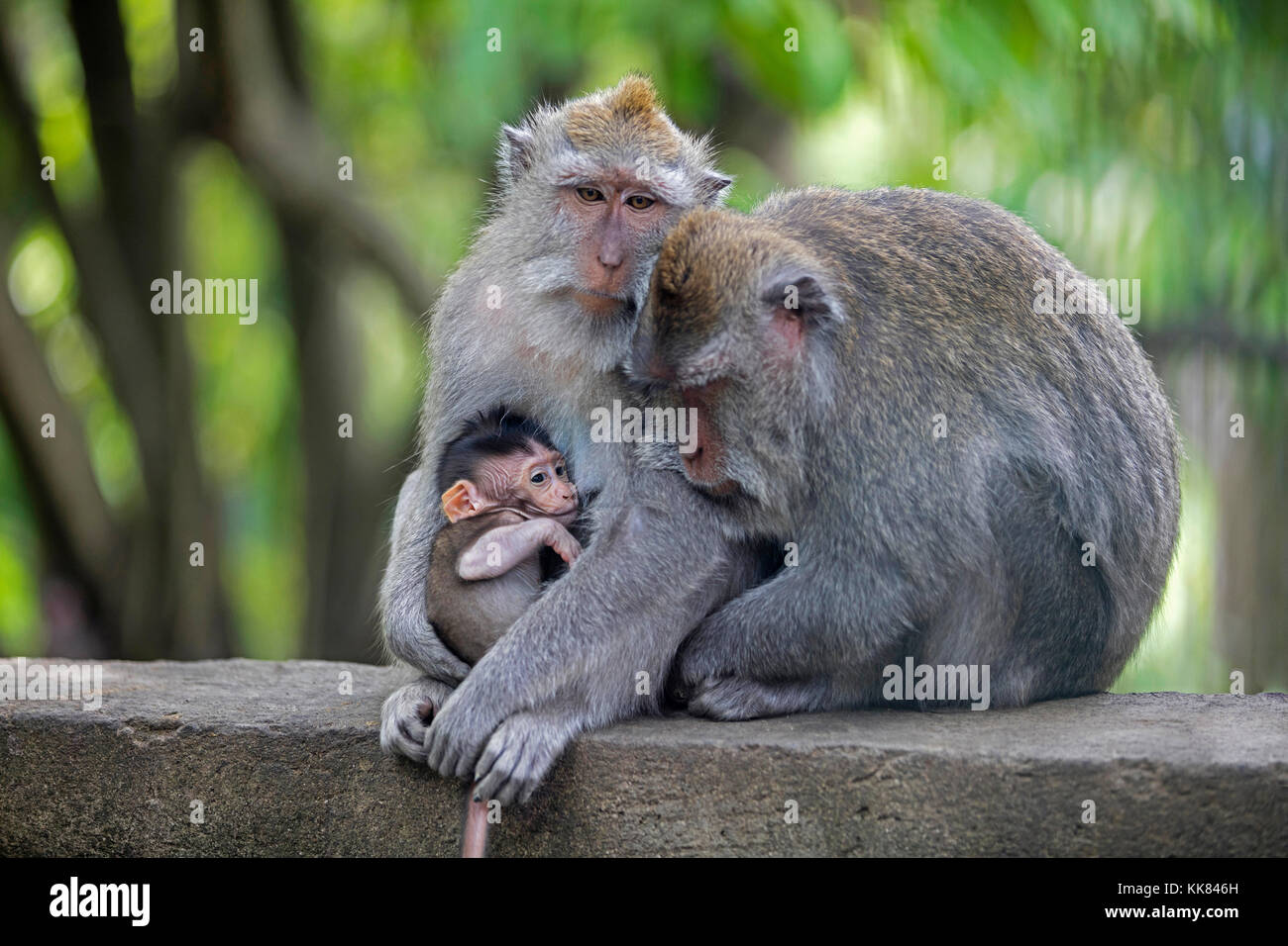 Crab-eating macaques / Balinese long-tailed macaque (Macaca fascicularis) in the Ubud Sacred Monkey Forest Sanctuary, - Stock Image