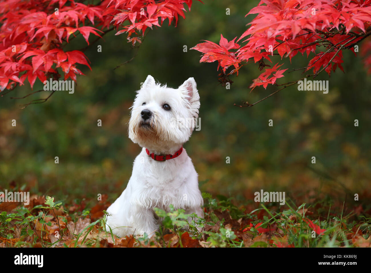 Terrier - West Highland White West Highland White Terrier Westie - Stock Image