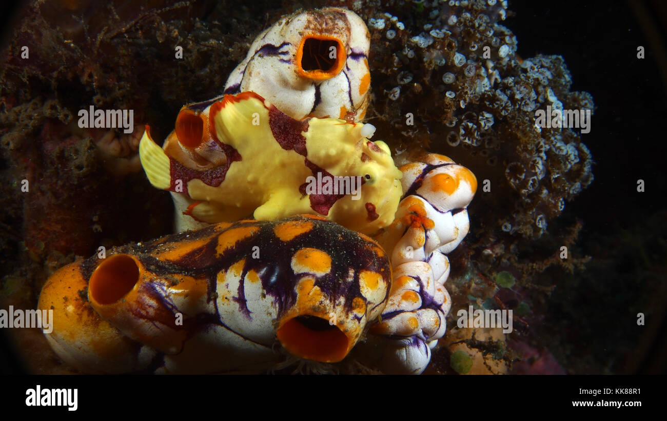 Yellow Warty Frogfish (Antennarius maculatus) on Sea Squirts - Stock Image