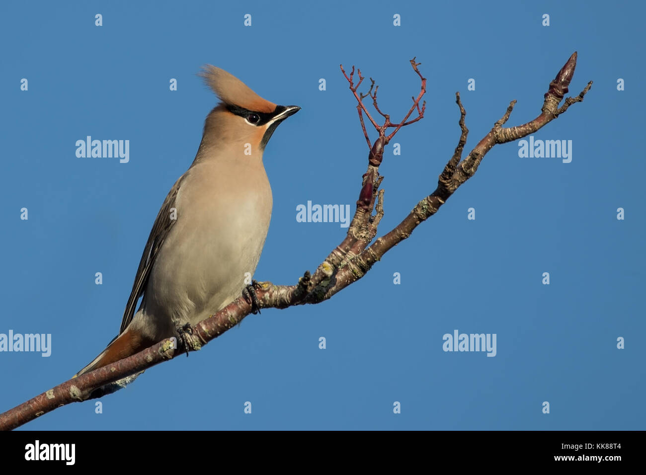 Waxwing (Bombycilla garrulus) In tree feeding on Berries In UK, England - Stock Image