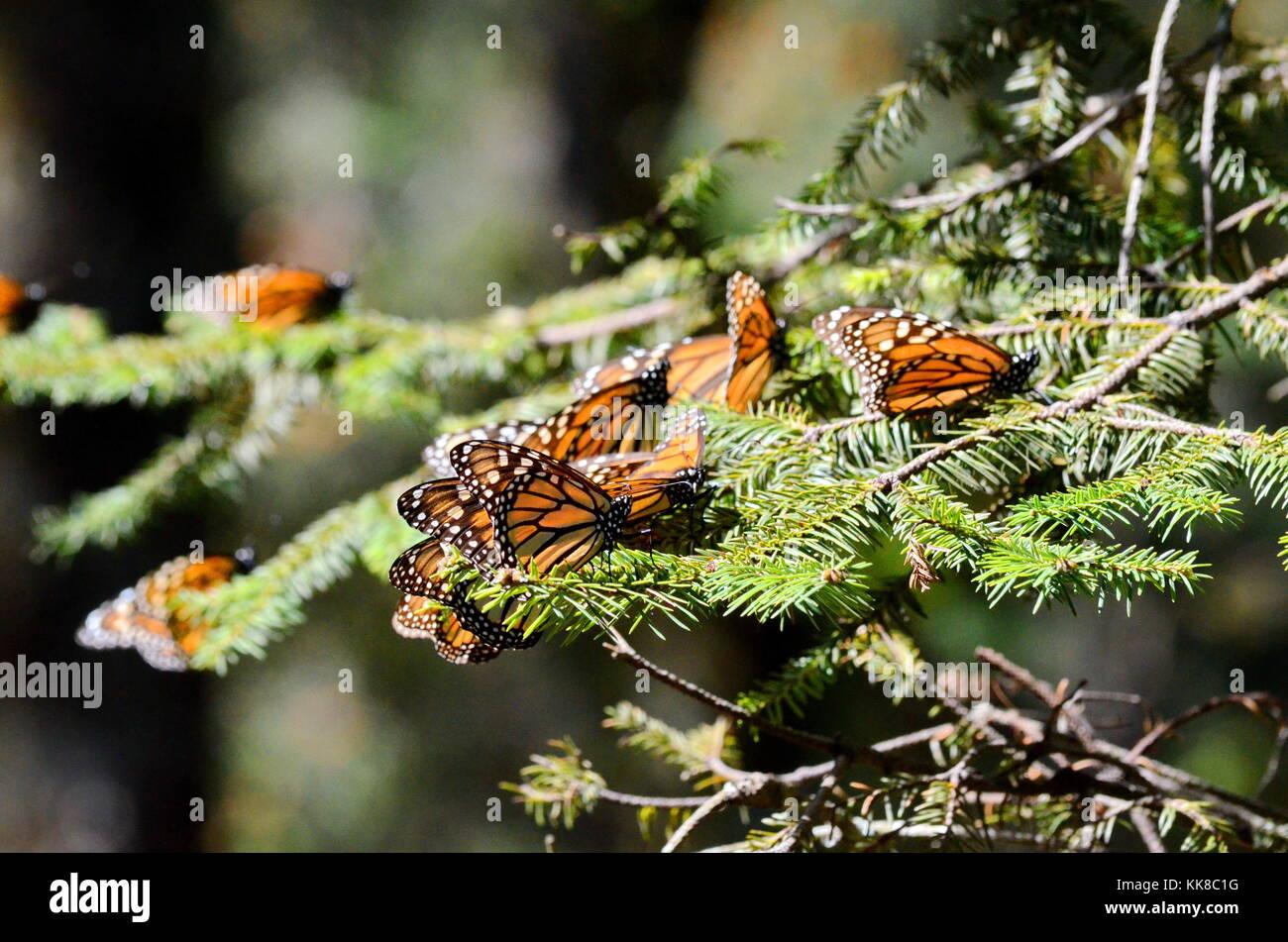 Monarch Butterflies, Michoacan, Mexico - Stock Image