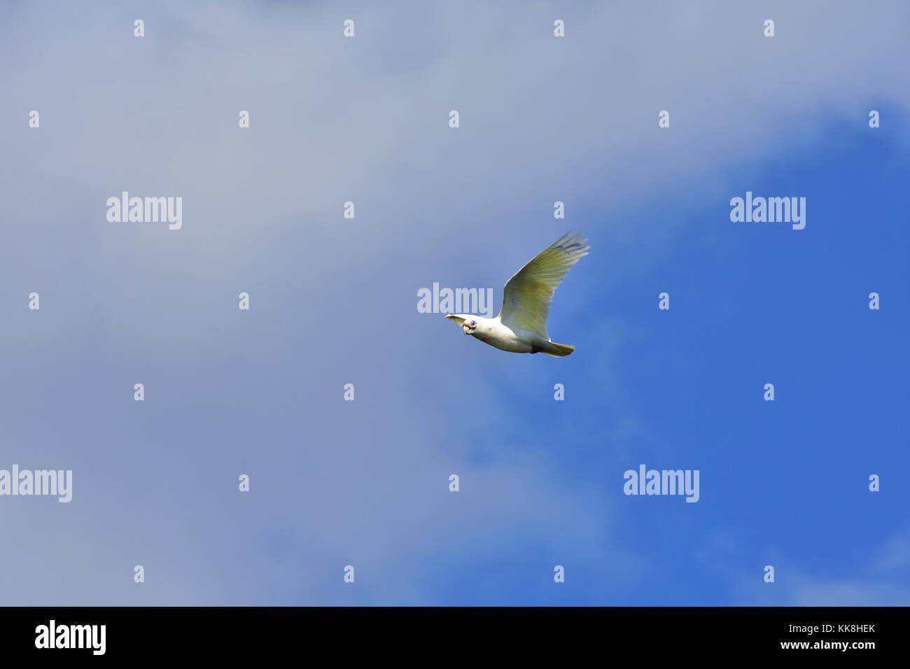 An Australian Long-billed Corella flying Stock Photo