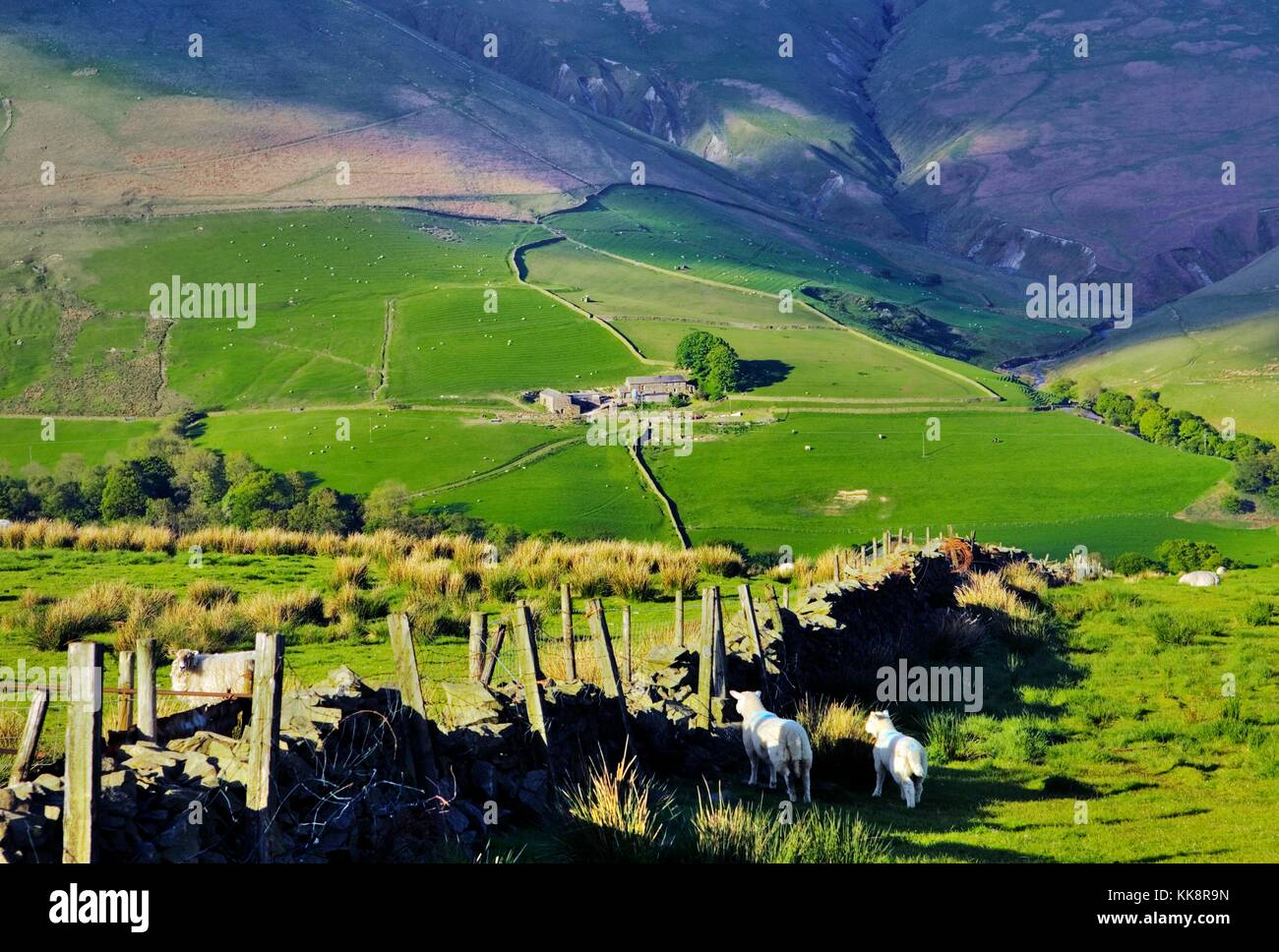Sheep grazing on hill farm in the Howgill Fells, east Cumbria, 2 miles south of Tebay, in the Lake District, north - Stock Image