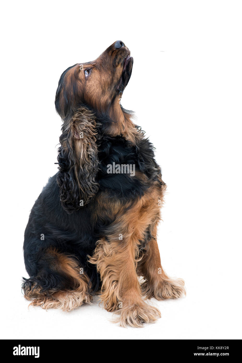 obedient pedigree cocker spaniel  sat  looking up  isolated on a white background - Stock Image
