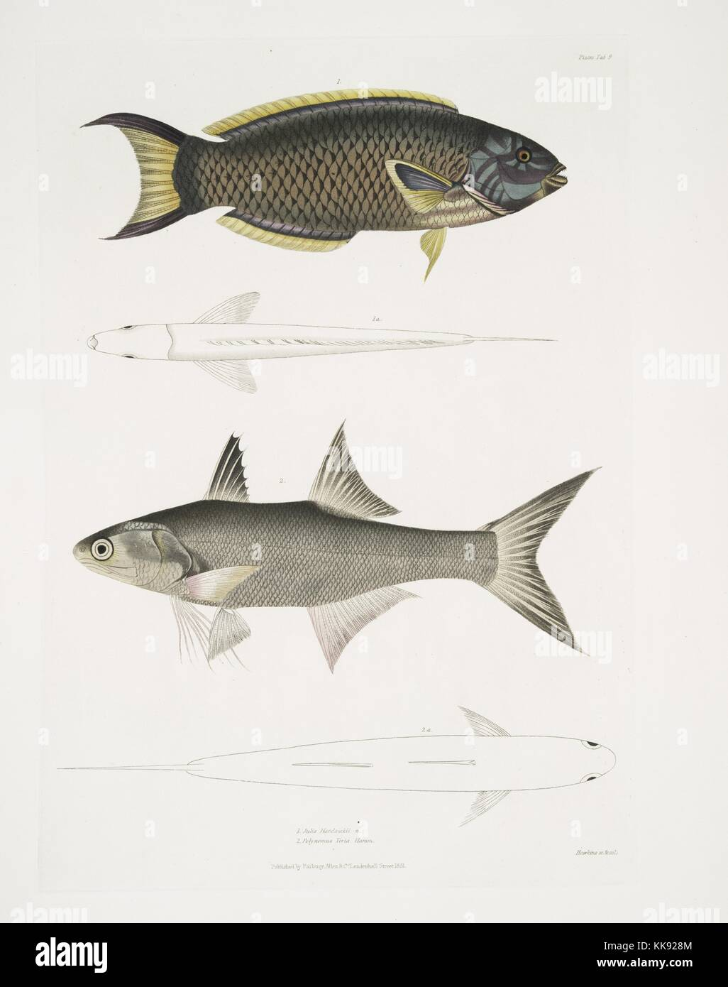 Four illustrations of fish, the first and third are colored images that provide a view of the fish in profile to - Stock Image