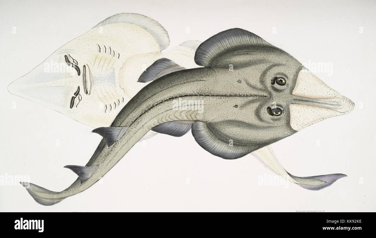 Hand colored print depicting a fish, as seen from the top in the front, as seen from bellow behind in the back, - Stock Image