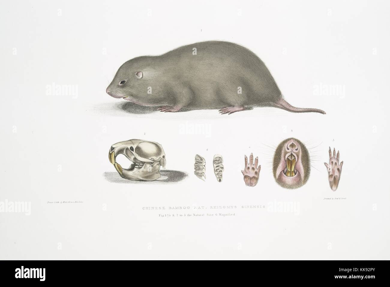 Hand colored print depicting a rat at the top, bellow it details of his skull, teeth, feet and face, captioned Chinese - Stock Image