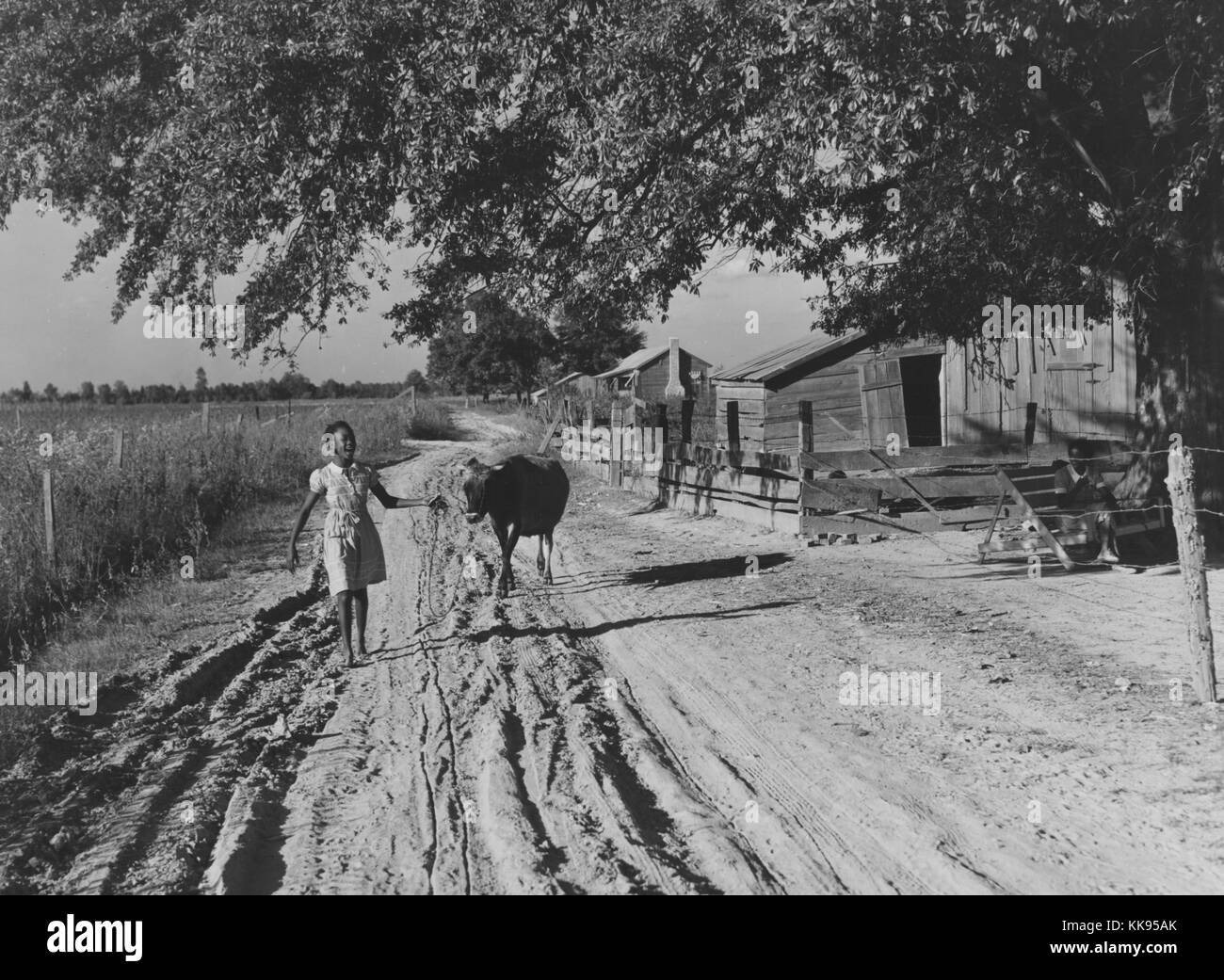 Black and white photograph of a young African-American woman bringing home cow from the fields in the evening, walking - Stock Image