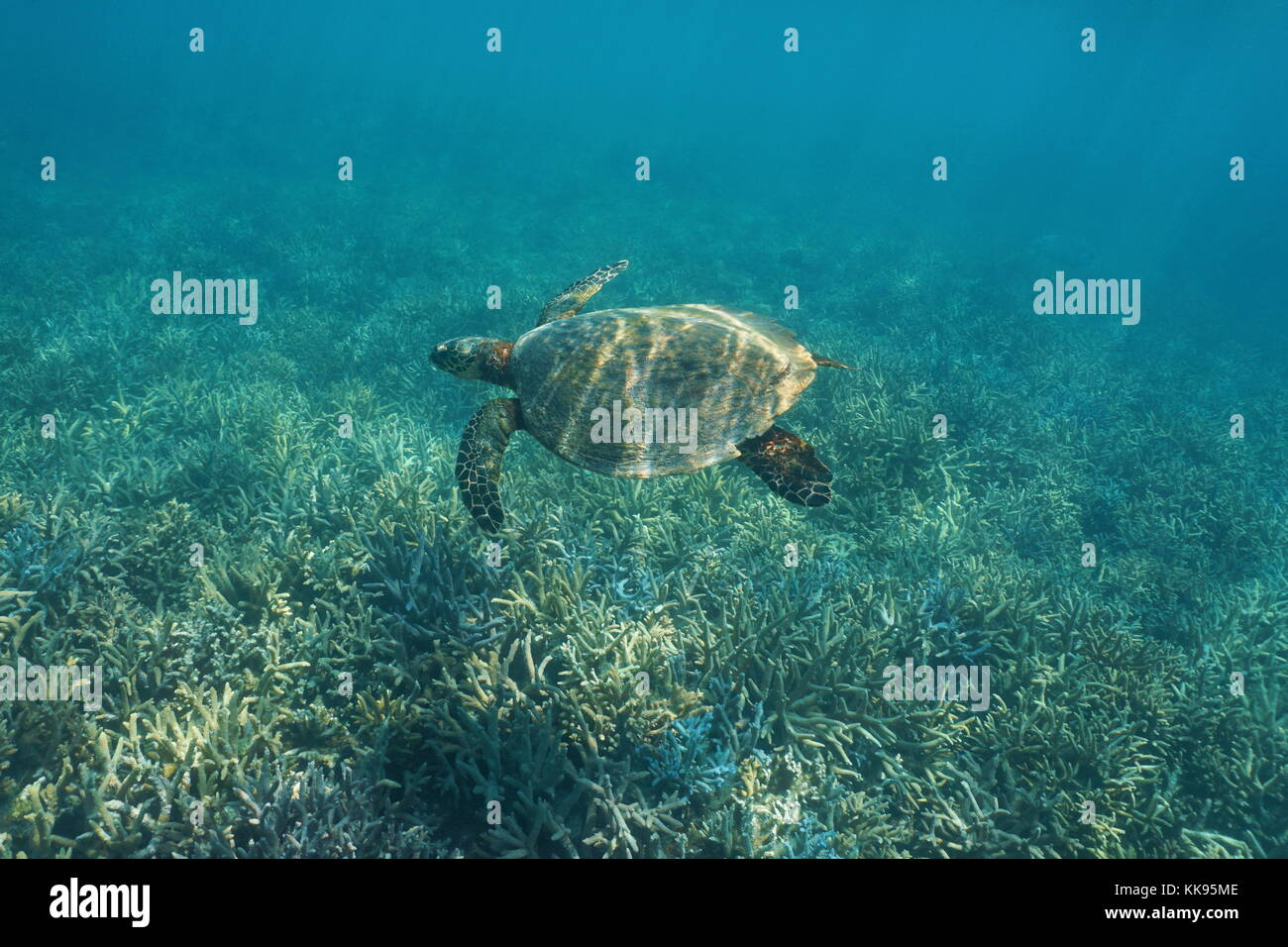 South Pacific ocean underwater a hawksbill sea turtle Eretmochelys imbricata, swims over a coral reef, New Caledonia, - Stock Image