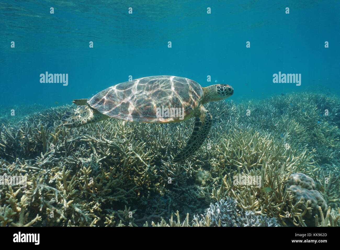 Underwater a green sea turtle Chelonia mydas, swims over a coral reef, New Caledonia, south Pacific ocean, Oceania - Stock Image
