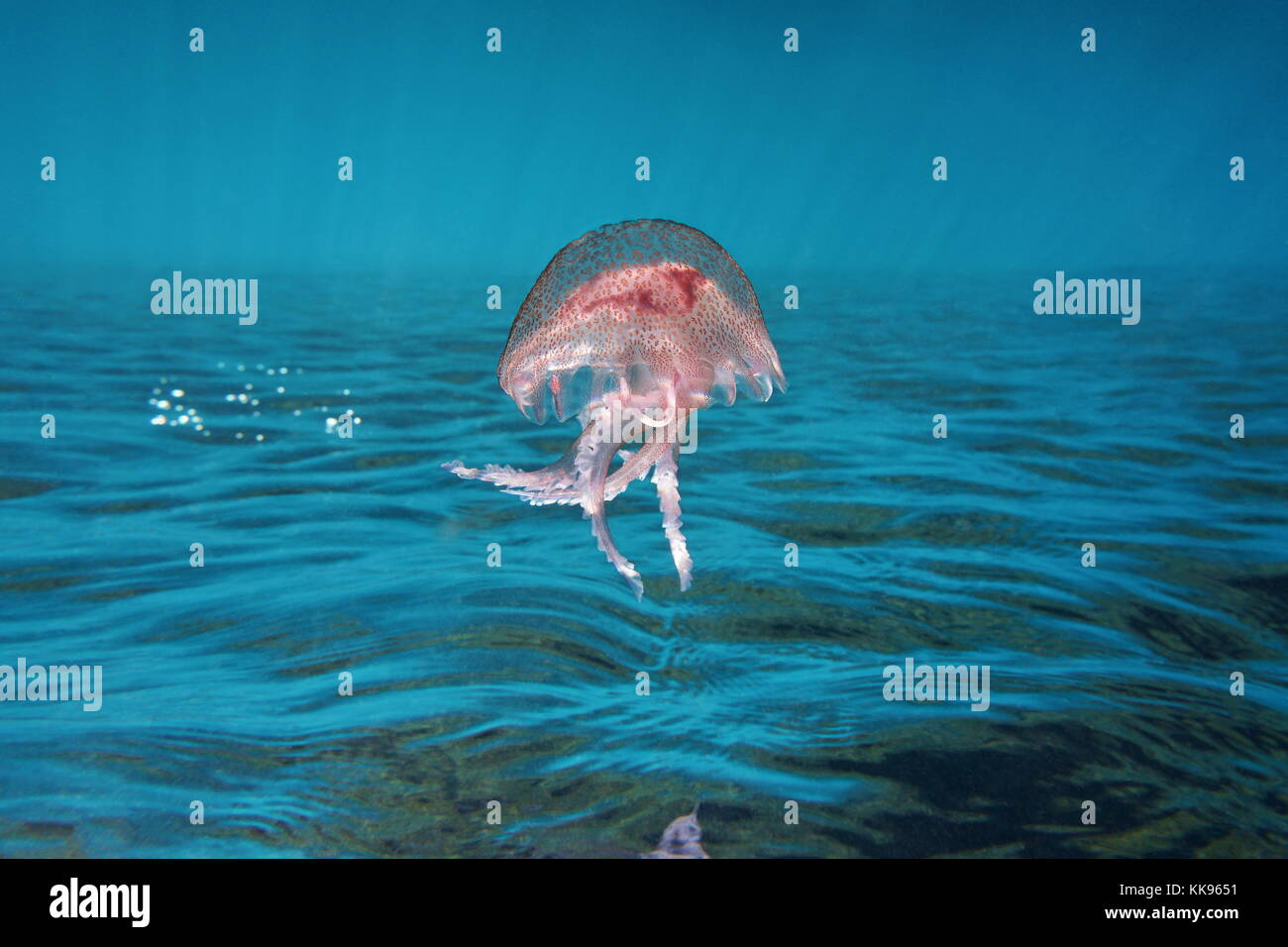Underwater sea surface with a jellyfish mauve stinger Pelagia Noctiluca, inverted image, Mediterranean, Cote d'Azur, - Stock Image
