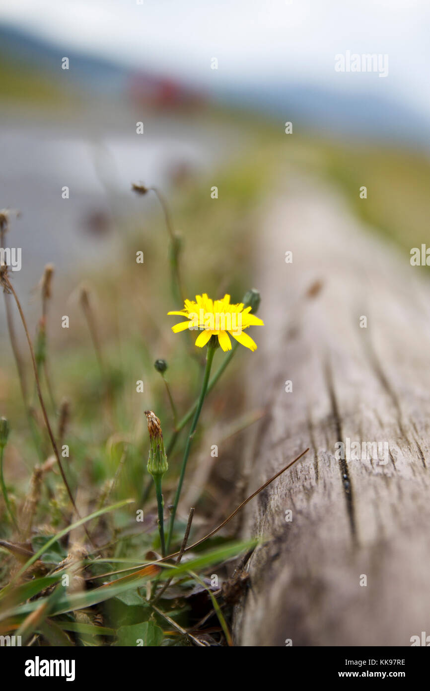 Detail of yellow flower at side of the road. - Stock Image