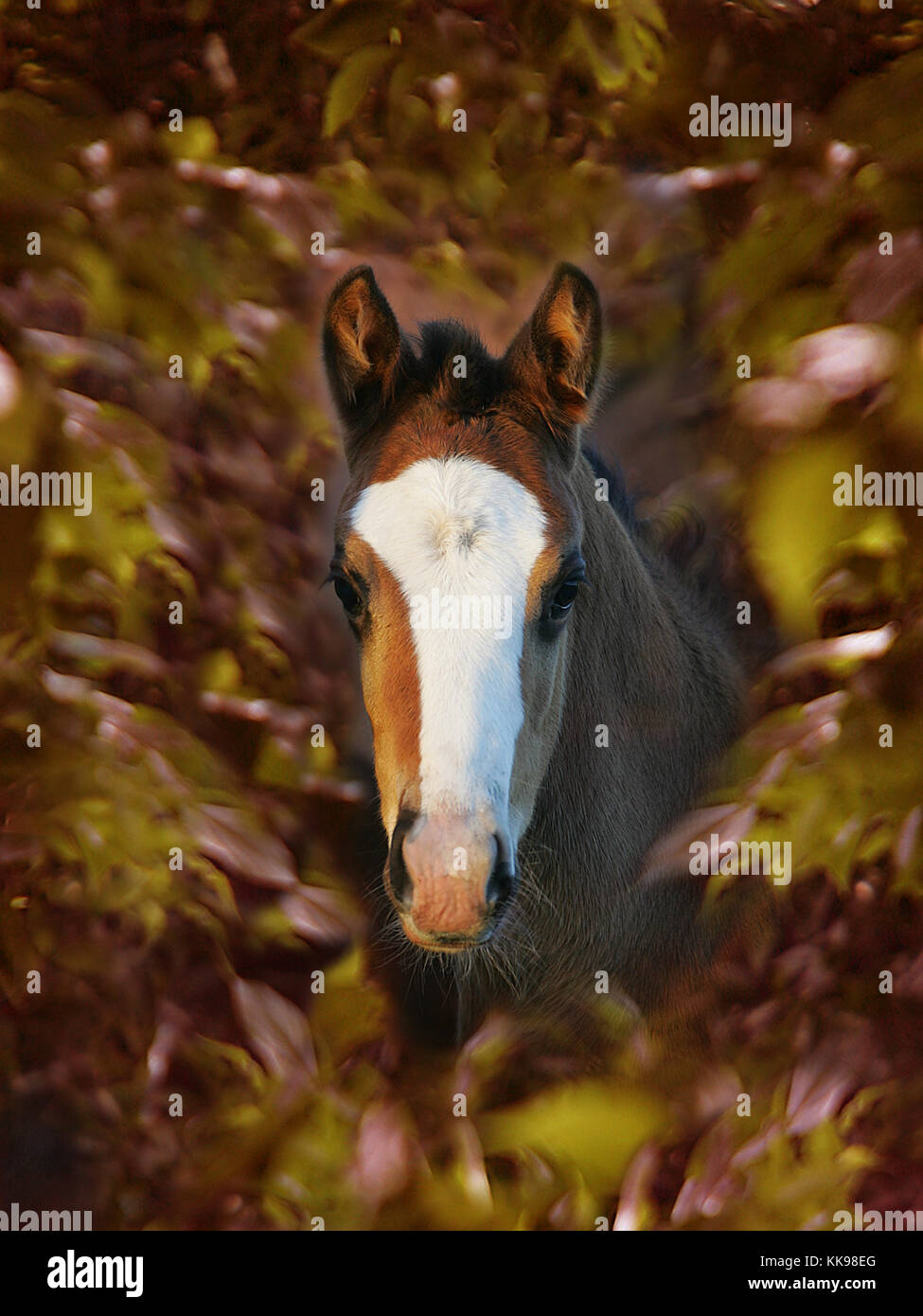 A beautiful shy foal peeps through a collar of autumnal leaves. - Stock Image