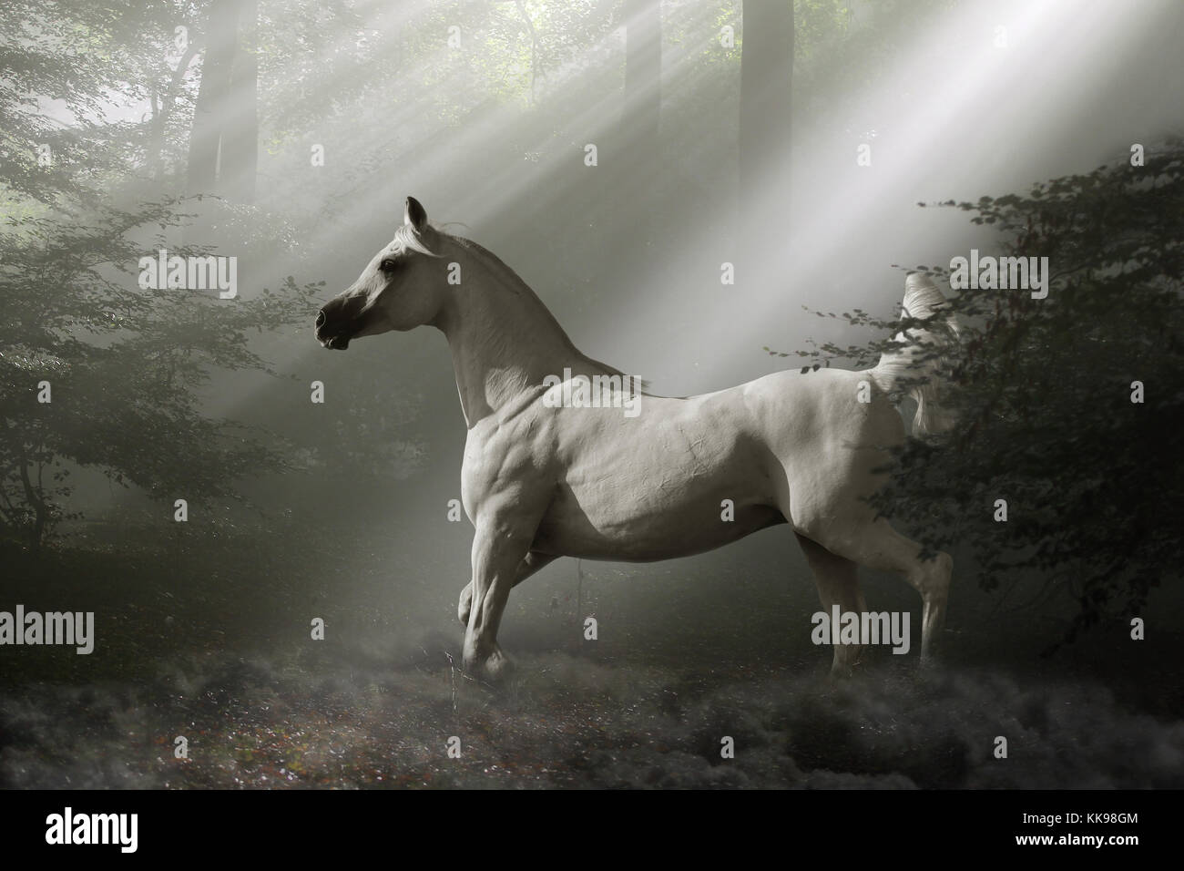 A mystical white horse emerges from the mist into a shaft of sunlight in the depths of a magical forest. - Stock Image