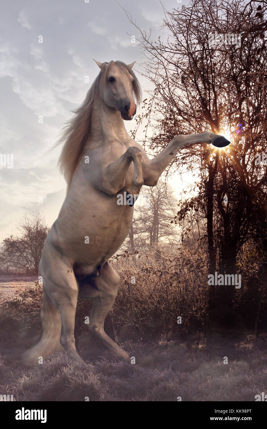 A mystical white horse rearing in the frosty landscape with a magical glow shining through the trees - Stock Image