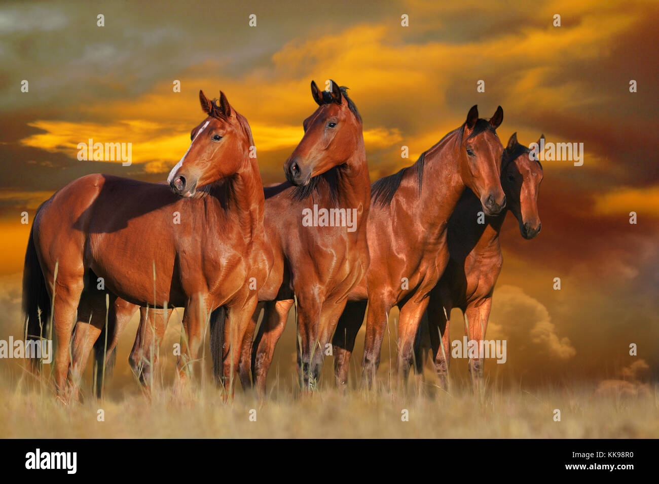 Four beautiful horses standing in a field of long grass with an orange sunset behind them. - Stock Image