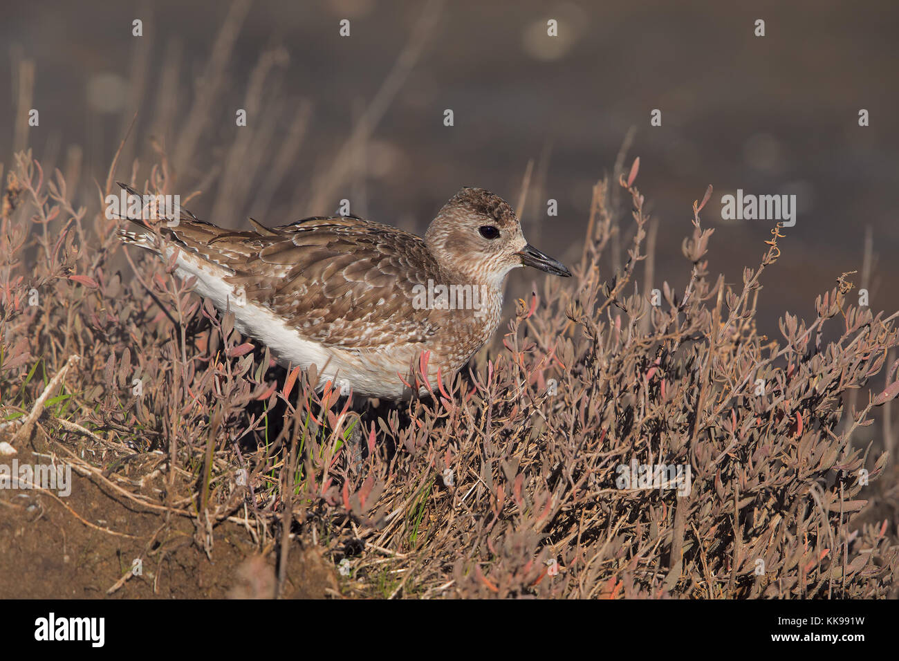 Grey plover among Salicornia beds - Stock Image