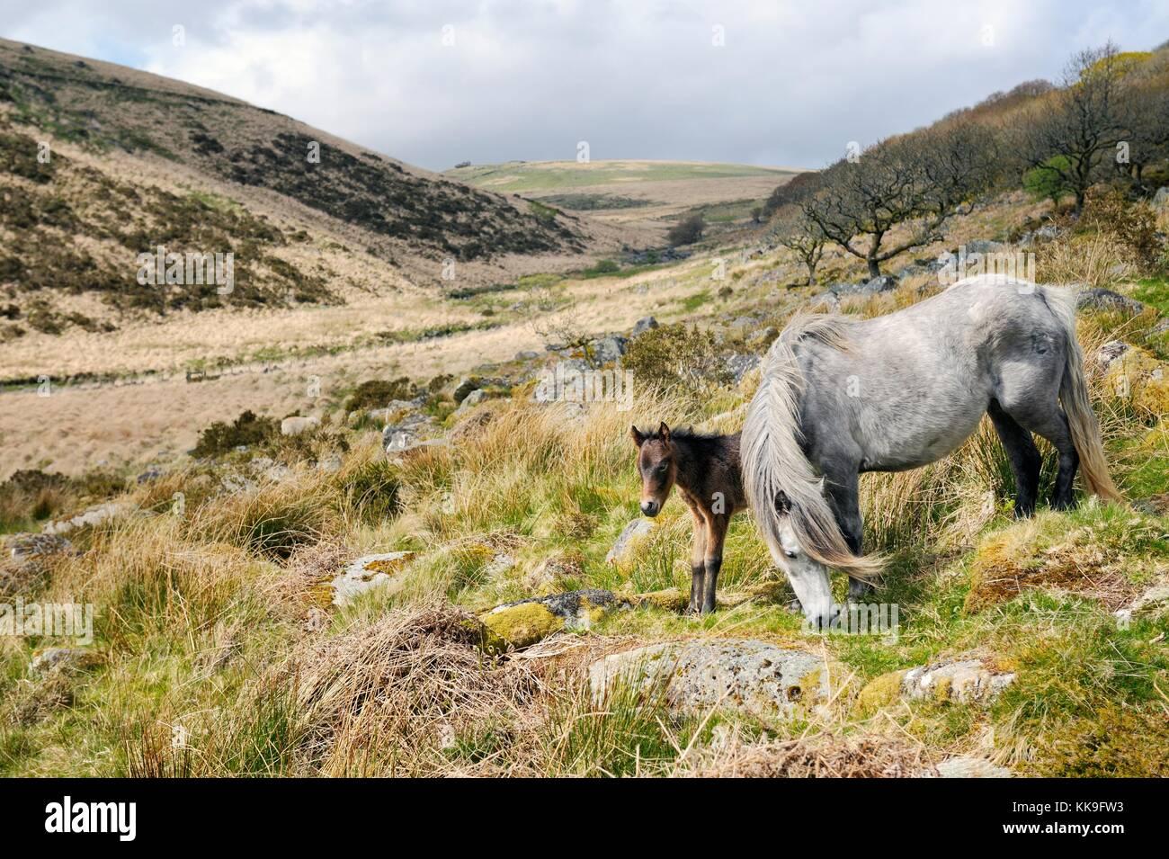 Dartmoor ponies, Dartmoor National Park, Devon, England. Mare and foal. Wistman's Wistmans Wood in the West - Stock Image