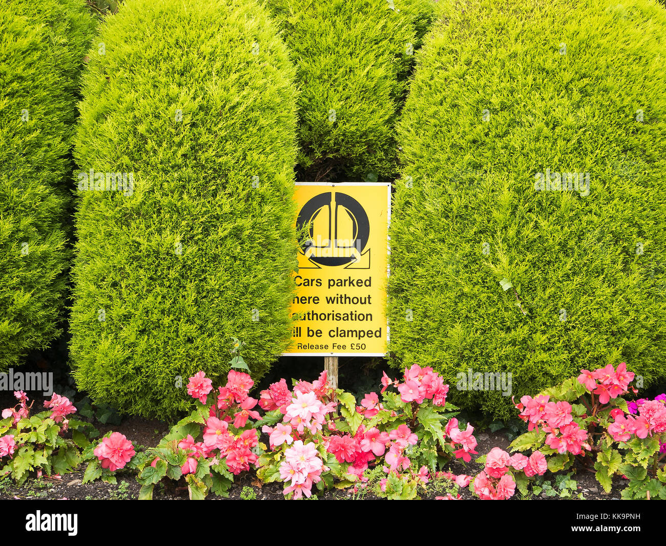 Decorative functional boundary hedge in a hotel garden in North Devon UK with flowering Impatiens - Stock Image