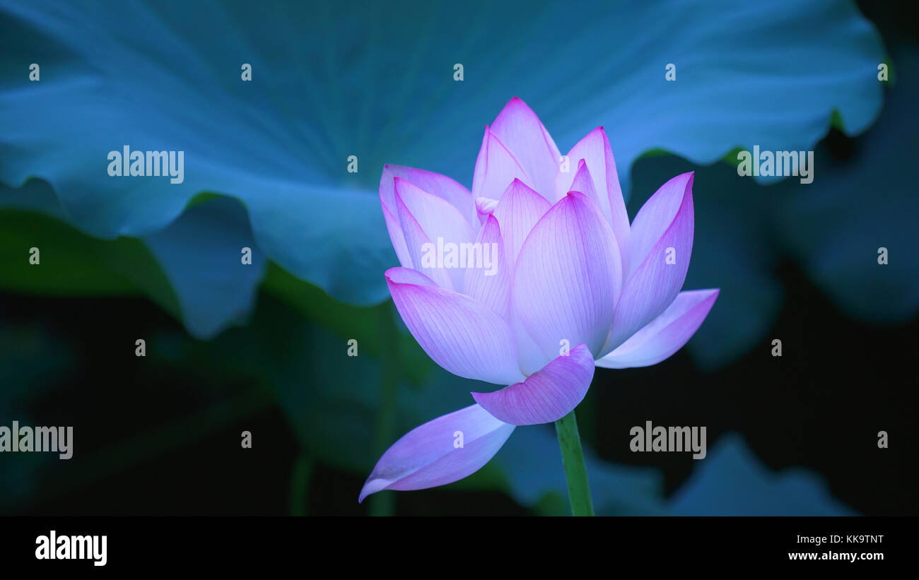 Beautiful Lotus Flower Blooms In The Pond China Stock Photo