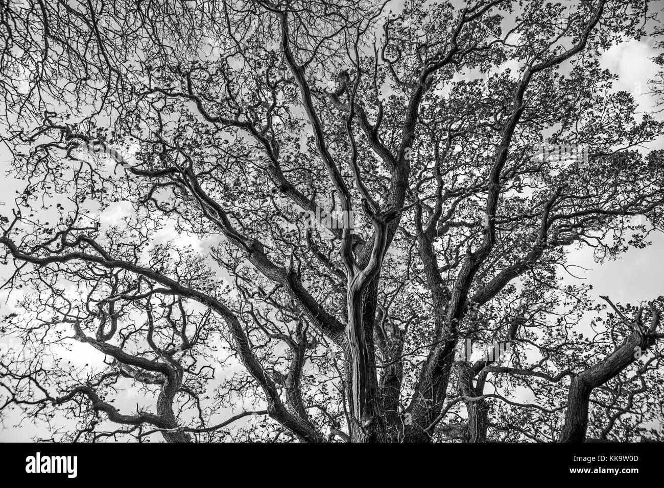 This great tree at Worsham has a huge canopy, now bare in winter. The tree stands near the old farm buildings called - Stock Image