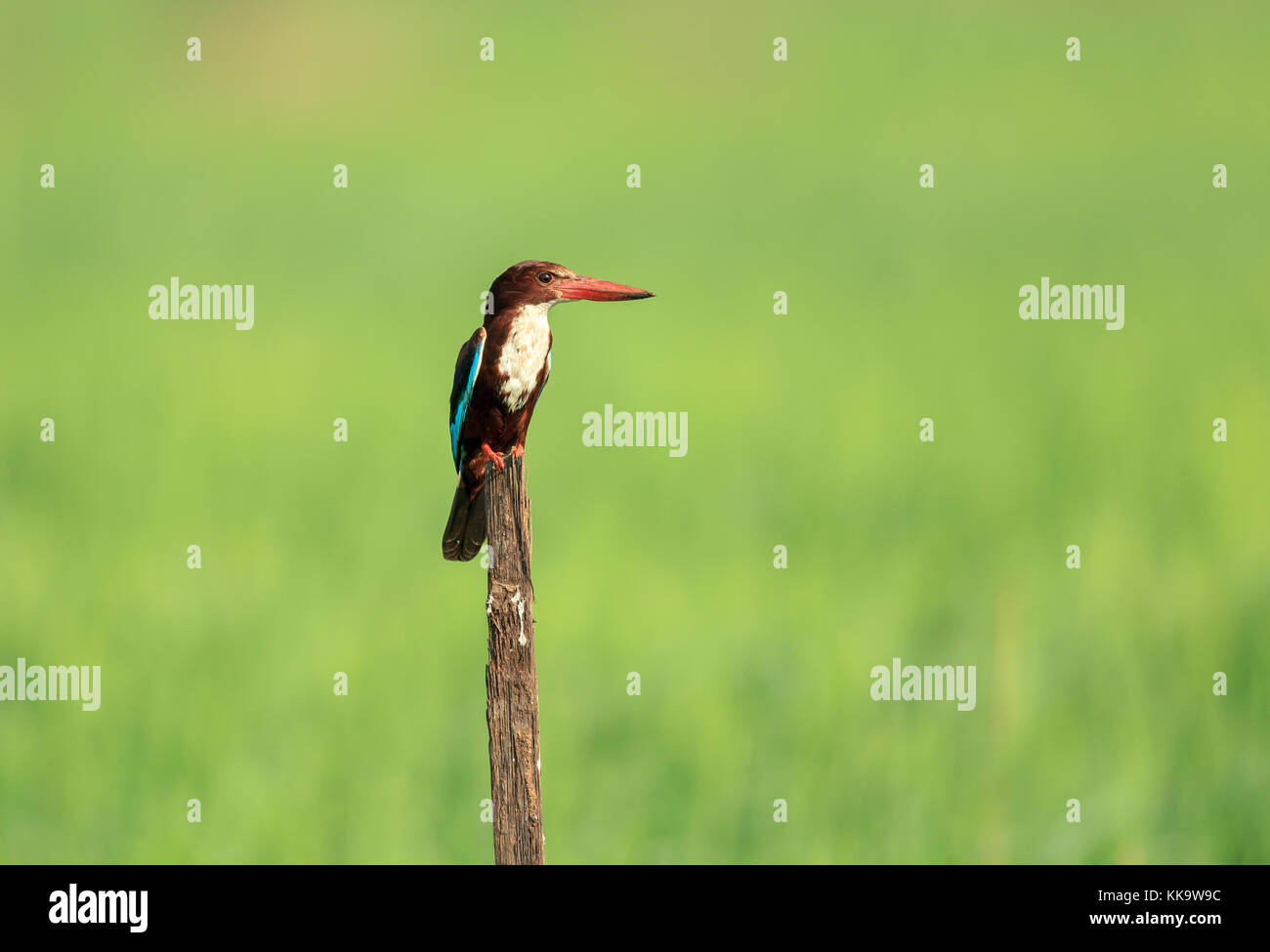 White-throated or White-breasted Kingfisher Stock Photo