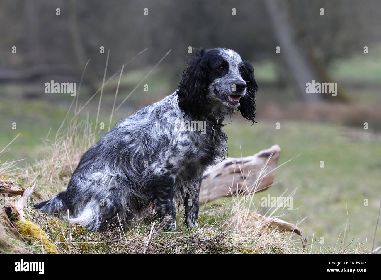 Spaniel - Working Cocker Working Cocker Spaniel Blue roan Stock