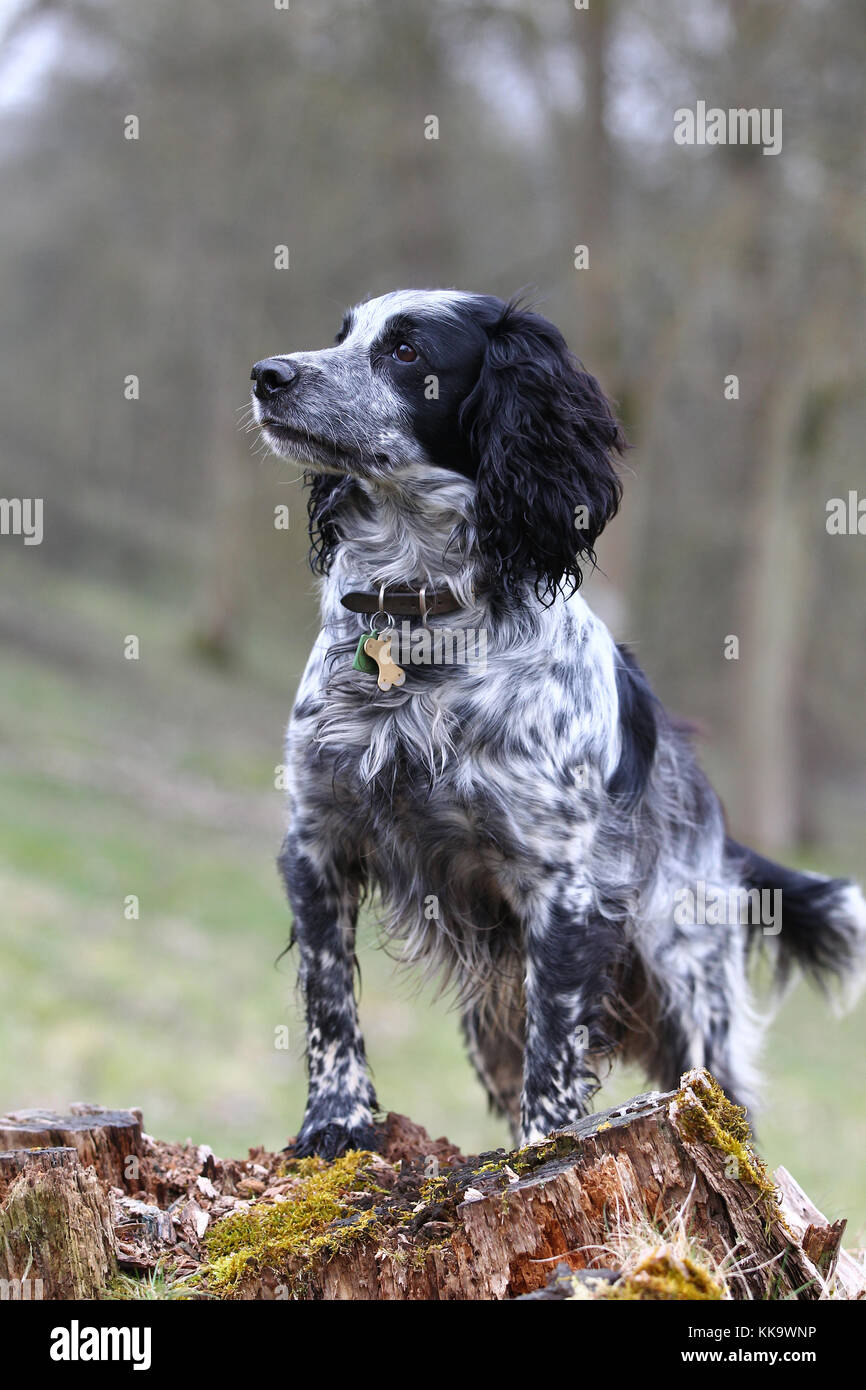Spaniel - Working Cocker Working Cocker Spaniel Blue roan