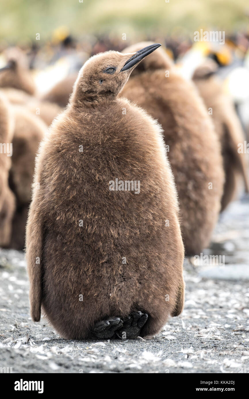 King penguin chick in creche at Gold Harbour, South Georgia Island - Stock Image