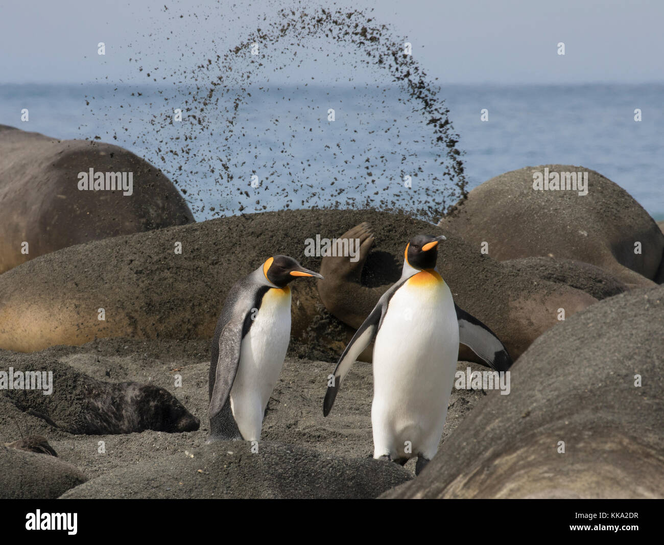 Resting elephant seal flips sand into the air as two king penguins walk by on beach at Gold Harbour, South Georgia - Stock Image